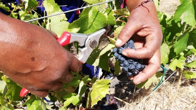 It's exciting to be a grape! – Botriver Wine Route